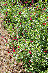 Furman's Red Texas Sage (Salvia greggii 'Furman's Red') at Rainbow Gardens