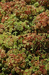Sunset Velvet Shamrock (Oxalis vulcanicola 'Sunset Velvet') at Rainbow Gardens