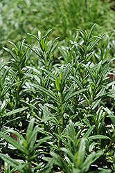 Spice Islands Rosemary (Rosmarinus officinalis 'Spice Islands') at Rainbow Gardens