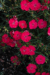 Ideal Select Rose Pinks (Dianthus 'Ideal Select Rose') at Rainbow Gardens