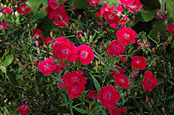 Ideal Select Red Pinks (Dianthus 'Ideal Select Red') at Rainbow Gardens