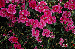 Ideal Select Raspberry Pinks (Dianthus 'Ideal Select Raspberry') at Rainbow Gardens