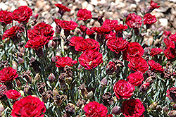 SuperTrouper™ Butterfly Dark Red Carnation (Dianthus caryophyllus 'SuperTrouper Butterfly Dark Red') at Rainbow Gardens