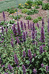 Blue Boa® Hyssop (Agastache 'Blue Boa') at Rainbow Gardens