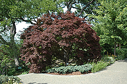Burgundy Lace Japanese Maple (Acer palmatum 'Burgundy Lace') at Rainbow Gardens