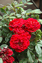 Red Sunblaze® Rose (Rosa 'Meirutral') at Rainbow Gardens