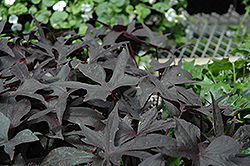 Blackie Sweet Potato Vine (Ipomoea batatas 'Blackie') at Rainbow Gardens