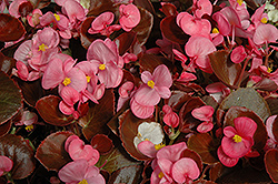 Nightife Rose Begonia (Begonia 'Nightlife Rose') at Rainbow Gardens