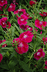 Ideal Select Violet Pinks (Dianthus 'Ideal Select Violet') at Rainbow Gardens