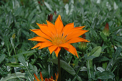 New Day Clear Orange Gazania (Gazania 'New Day Clear Orange') at Rainbow Gardens