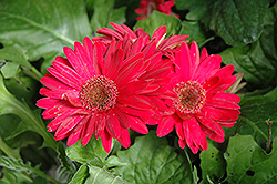 Royal Deep Rose Gerbera Daisy (Gerbera 'Royal Deep Rose') at Rainbow Gardens