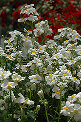 Sunsatia Coconut Nemesia (Nemesia 'Sunsatia Coconut') at Rainbow Gardens