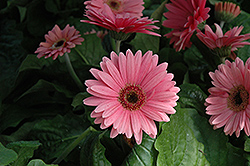 Royal Deep Pink Gerbera Daisy (Gerbera 'Royal Deep Pink') at Rainbow Gardens