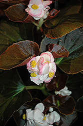 Nightife Blush Begonia (Begonia 'Nightlife Blush') at Rainbow Gardens