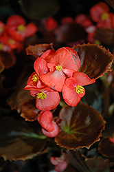 Nightife Red Begonia (Begonia 'Nightlife Red') at Rainbow Gardens