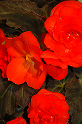 Nonstop® Mocca Deep Orange Begonia (Begonia 'Nonstop Mocca Deep Orange') at Rainbow Gardens