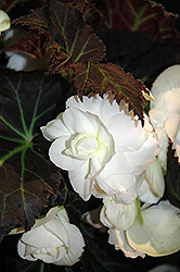 Nonstop® Mocca White Begonia (Begonia 'Nonstop Mocca White') at Rainbow Gardens