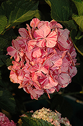 Peppermint Swirl Hydrangea (Hydrangea macrophylla 'Dancing Angel') at Rainbow Gardens