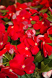 Cora® Red Vinca (Catharanthus roseus 'Cora Red') at Rainbow Gardens