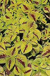 Kong Jr. Lime Vein Coleus (Solenostemon scutellarioides 'Kong Jr. Lime Vein') at Rainbow Gardens