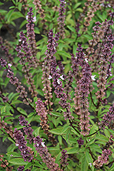 Thai Basil (Ocimum basilicum 'Thai') at Rainbow Gardens