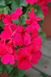 Caliente Dark Rose Geranium (Pelargonium 'Caliente Dark Rose') at Rainbow Gardens