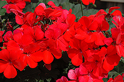 Caliente Orange Geranium (Pelargonium 'Caliente Orange') at Rainbow Gardens