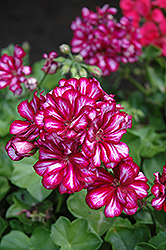 Great Balls of Fire Burgundy Blaze Ivy Leaf Geranium (Pelargonium peltatum 'Great Balls of Fire Burgundy Blaze') at Rainbow Gardens