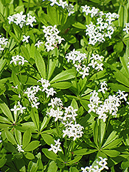 Sweet Woodruff (Galium odoratum) at Rainbow Gardens