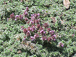 Wooly Thyme (Thymus pseudolanuginosis) at Rainbow Gardens