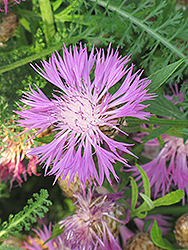 Cornflower (Centaurea dealbata) at Rainbow Gardens