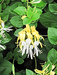 Hall's Japanese Honeysuckle (Lonicera japonica 'Halliana') at Rainbow Gardens