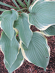 Regal Splendor Hosta (Hosta 'Regal Splendor') at Rainbow Gardens