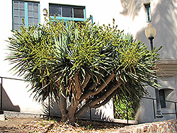 Dragon Tree (shrub form) (Dracaena draco (shrub form)) at Rainbow Gardens