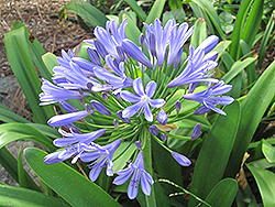 Queen Anne Agapanthus (Agapanthus africanus 'Queen Anne') at Rainbow Gardens