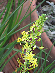 Yellow Stalked Bulbine (Bulbine frutescens 'Yellow') at Rainbow Gardens