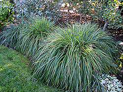 Moudry Fountain Grass (Pennisetum alopecuroides 'Moudry') at Rainbow Gardens