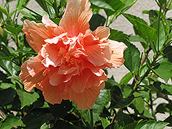 Double Peach Hibiscus (Hibiscus rosa-sinensis 'Double Peach') at Rainbow Gardens