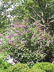 Pink Delight Butterfly Bush (Buddleia davidii 'Pink Delight') at Rainbow Gardens