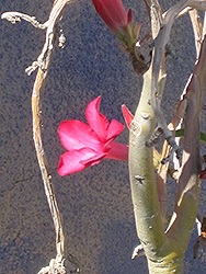 Desert Rose (Adenium obesum) at Rainbow Gardens