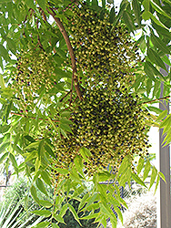 Chinese Pistache (Pistacia chinensis) at Rainbow Gardens