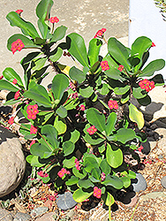Hybrid Crown Of Thorns (Euphorbia x lomi) at Rainbow Gardens