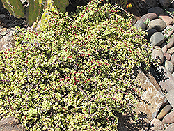 Variegated Elephant Food (Portulacaria afra 'Variegata') at Rainbow Gardens