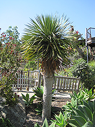 Dragon Tree (Dracaena draco) at Rainbow Gardens