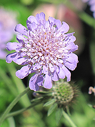 Butterfly Blue Pincushion Flower (Scabiosa 'Butterfly Blue') at Rainbow Gardens