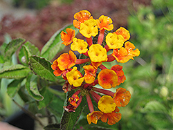 Radiation Bush Lantana (Lantana camara 'Radiation') at Rainbow Gardens