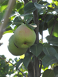 Monterrey Pear (Pyrus communis 'Monterrey') at Rainbow Gardens