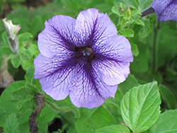 Hurrah Blue Veined Petunia (Petunia 'Hurrah Blue Veined') at Rainbow Gardens