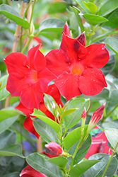Sun Parasol® Dark Red Mandevilla (Mandevilla 'Sun Parasol Dark Red') at Rainbow Gardens