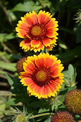 Arizona Sun Blanket Flower (Gaillardia x grandiflora 'Arizona Sun') at Rainbow Gardens